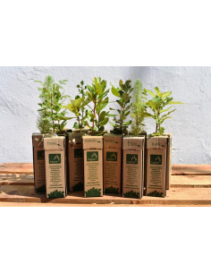PACK of STRAWBERRY TREE...